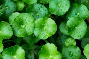 Schließen Sie herauf Wassertropfen auf Gotu-Kolabaumblättern, asiatischer Pennywort, indischer Pennywort, grüner Blatthintergrund, Tiger Herbal