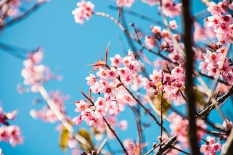 Schöne blühende japanische Kirsche - Sakura.