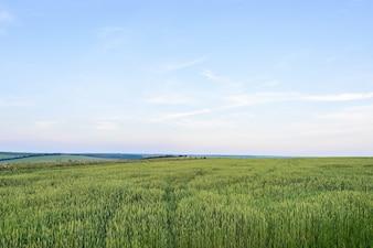Schöne Landschaft mit grünem Korn bei Sonnenuntergang in moldova eingereicht
