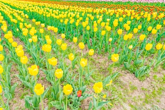 Schöner Strauß Tulpen im Frühjahr.