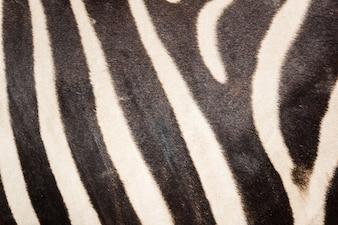 Schwarz-Weiß-Zebra-Haut-Muster für den Hintergrund