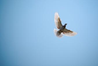 Taube in den blauen Himmel