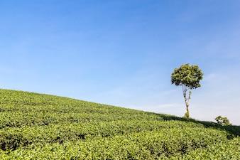 Tee-Feld und blauer Himmel für den Hintergrund