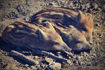 Tier - Wildschwein in freier Wildbahn