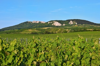Weinberge unter Palava. Tschechische Republik - Südmährische Region Weinregion.