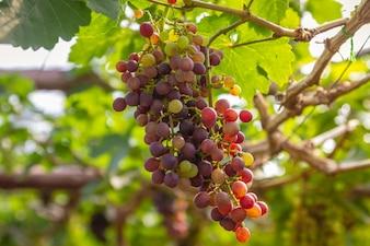 Weintraube auf Weintraube