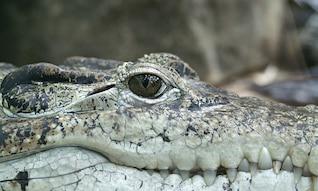 hunter alligator eye reptile animal crocodile
