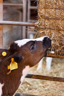 agriculture dairy animal cattle calf cow eat