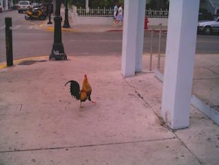 Rooster, chicken