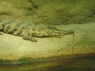 Gator, rocks
