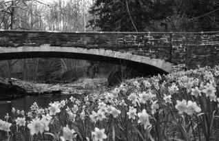 Daffodils Black and White