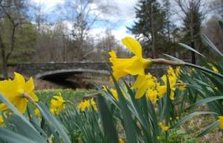 Daffodil Up Close