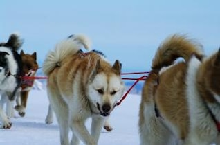 Moutain ride with huskies, ride, snow