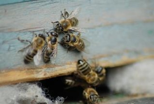 Honey bees, bee