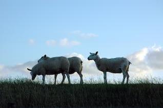Grazing sheep, farmland