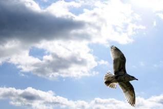 Seagull In Flight 1