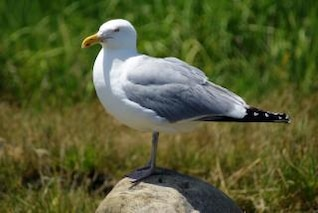 Seagull, wings, bird