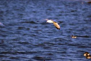 Seagull, animal
