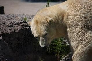 Polar Bear, captive