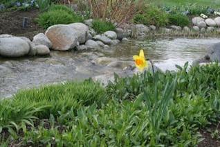 daffodil near stream