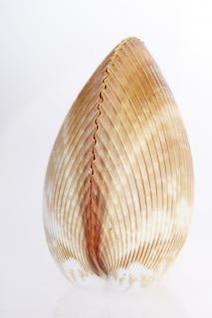 seashell   natural