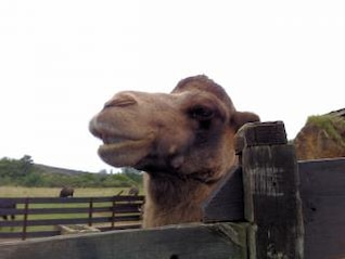 camel in an open zoo in northern spain