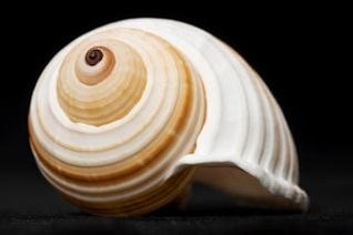 seashell   shellfish