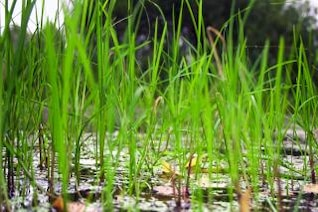 bog grass