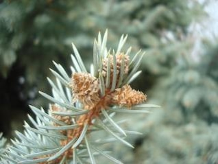 fir cones close up