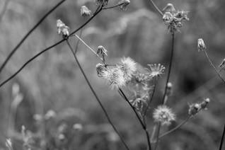 A couple of dandelions