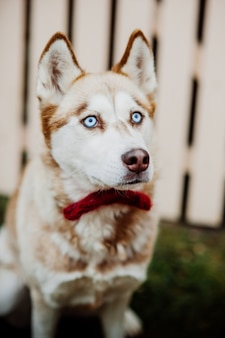 A purebred Siberian Husky dog without leash outdoors in the nature on a sunny day.