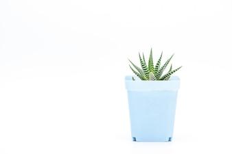 A succulent plant potted