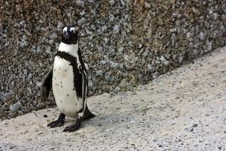 african penguin  winged
