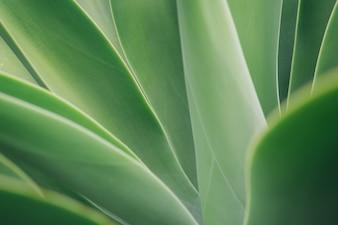 アガベの葉のテクスチャの背景