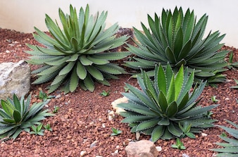 Agave plant decorative in garden outdoor