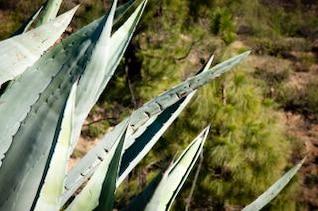 aloe vera cactus plant