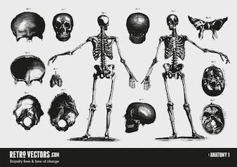 Anatomy skulls vector set