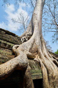 アンコールワットの寺院と木々