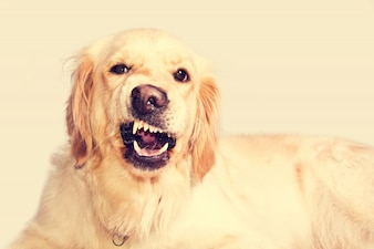 Angry golden retriever dog.