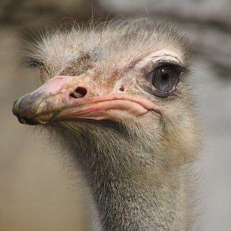 animal creature cute large ostriches bird ostrich