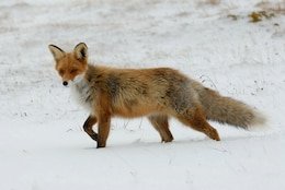animal fox whiskers