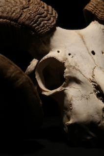 animal skull  macro