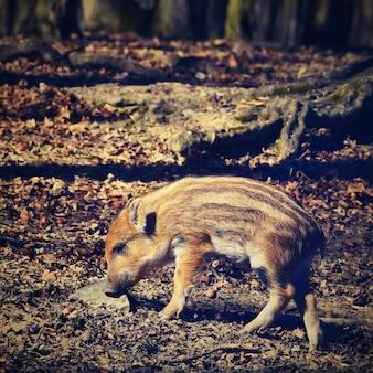 動物 - 野生のイノシシ。
