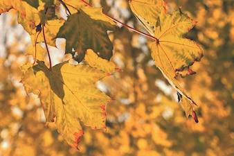 紅葉。自然な季節の色の背景。公園のカラフルな葉。