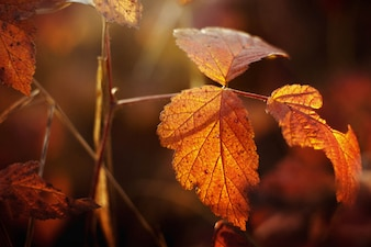 Autumnal leaves with defocused background