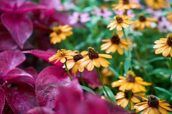 背景紫色のヒナギク植物緑