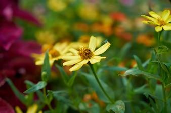 背景春黄色のデイジーマレーシア