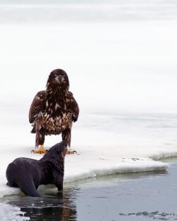 bald eagle and otter