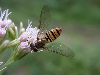 Balteatus winterschwebfliege episyrphus insect common