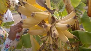 バナナの木のピッキング